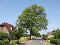 Ulmus hollandica Belgica (warns buorren) 060609