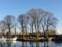 Ulmus hollandica Belgica (hoorn baatland) 140203
