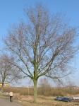 Ulmus hollandica Commelin (amsterdam amsteldijk o.z.) 030223a