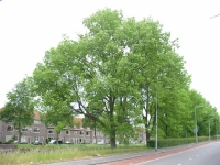 Ulmus hollandica Commelin (groningen brailleweg) 040530