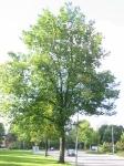 Ulmus hollandica Commelin (groningen laan corpus den hoorn) 021006