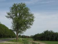 Ulmus hollandica Commelin (uithuizermeeden N363) 080512