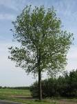Ulmus hollandica Commelin (uithuizermeeden N363) 080512c